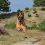 Un berger belge malinois qui gambade dans la guarrigue